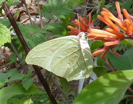 Image of White Angled-Sulphur