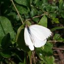 Image of Great Southern White