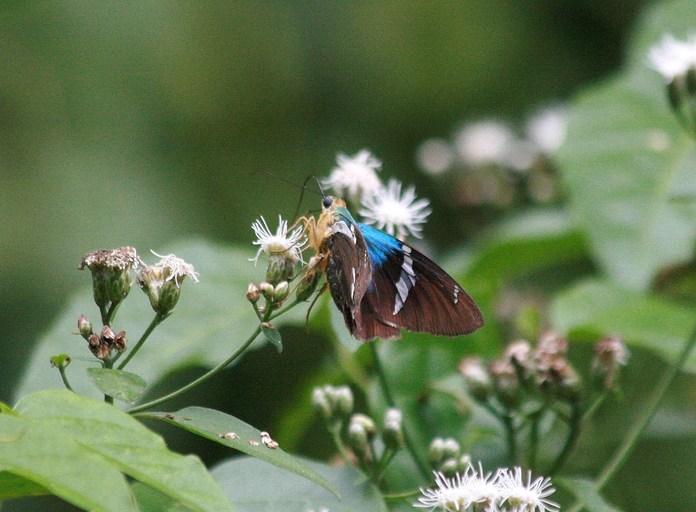 Image of <i>Astraptes fulgerator azul</i> Reakirt 1866