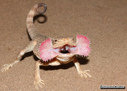 Image of Secret toadhead agama