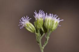 Image of Sonoran Slender-Thoroughwort