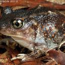 Image of Eastern Spadefoot Toad