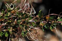 Image of curl-leaf mountain mahogany