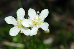 Image of fringed grass of Parnassus
