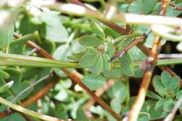 Image of <i>Acmispon junceus</i> var. <i>biolettii</i> (Greene) Brouillet