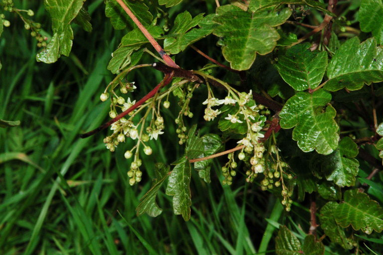 Image of Pacific poison oak