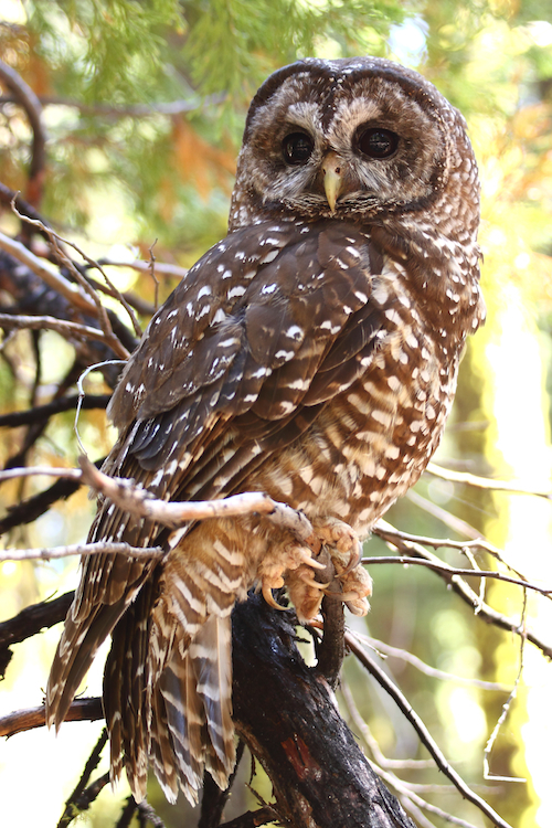 Image of California Spotted Owl
