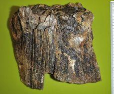Image of <i>Protosphyraena gladius</i>