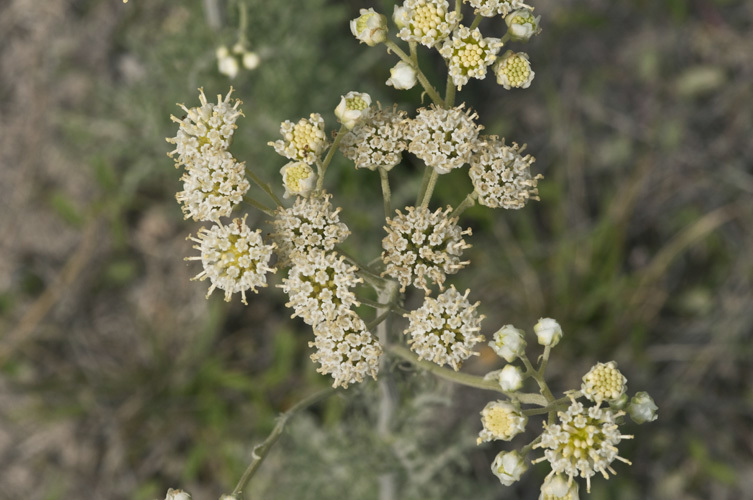Image of Chalk Hill hymenopappus