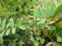 Image of <i>Vicia gigantea</i> Bunge