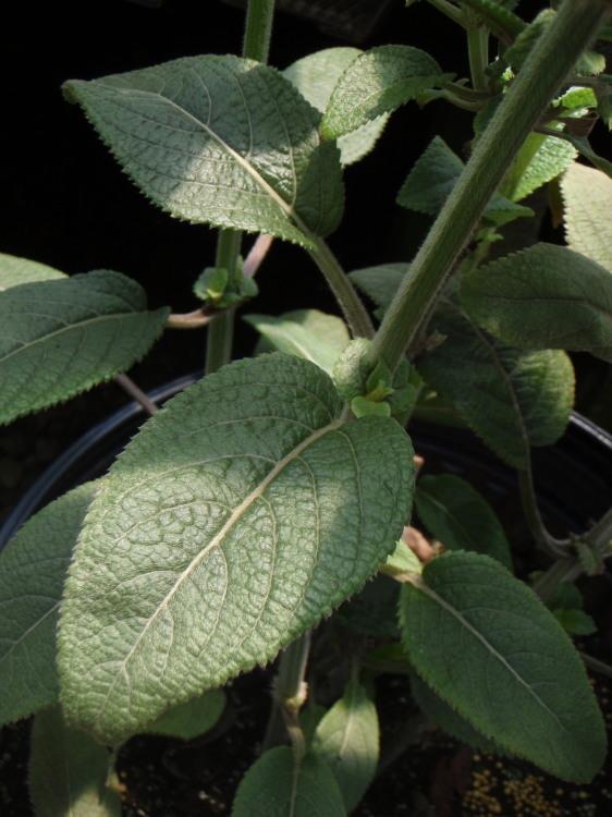 Image of velvet phyllostegia