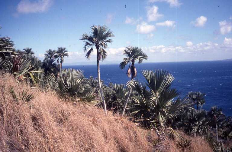 Image of Blue latan palm