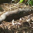 Image of Mungotictis
