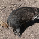 Image of Visayan Warty Pig