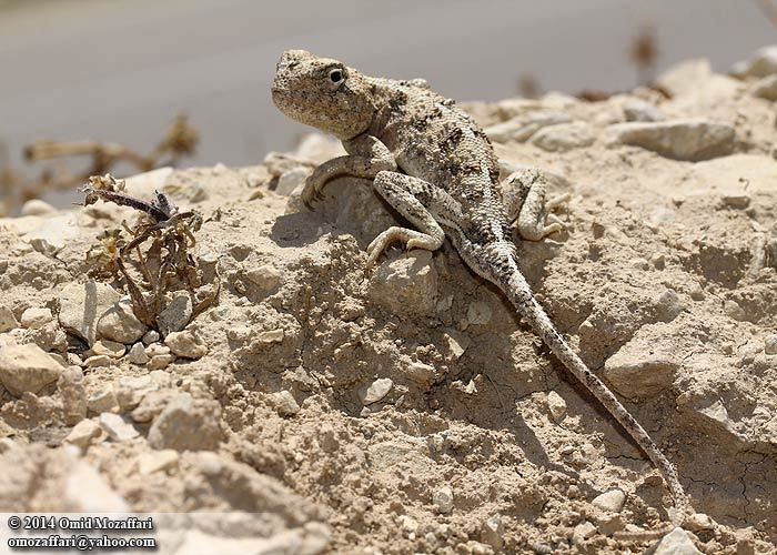 Image of Horny-scaled Agama