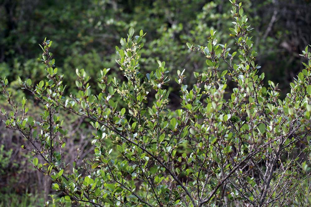 Image of <i>Cercocarpus betuloides blancheae</i>