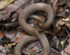 Image of Two-spotted Snake
