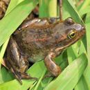Image of Oregon Spotted Frog