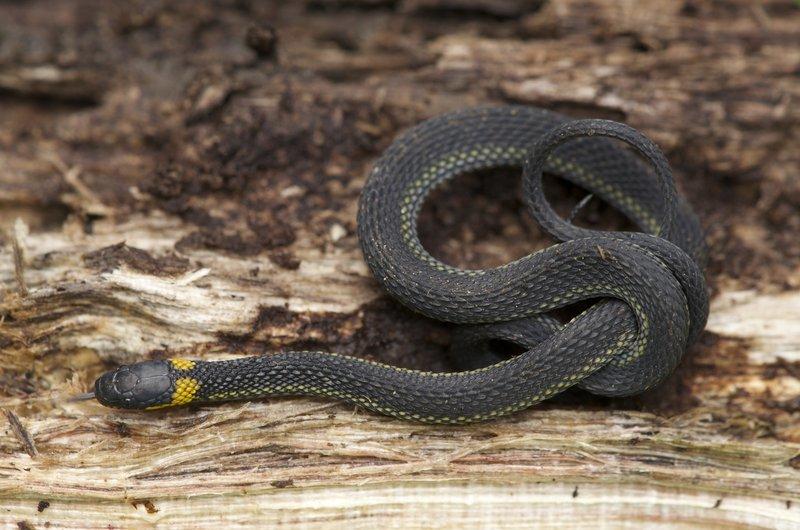 Image of Veracruz Ringneck Coffee Snake