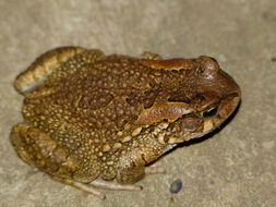 Image of Ranger's Toad