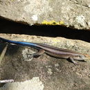 Image of Five-lined Skink