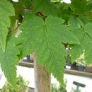 Image of <i>Acer tschonoskii</i> ssp. <i>koreanum</i> A. E. Murray