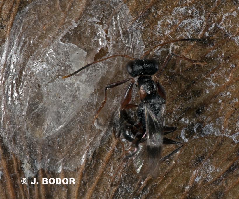 Image of <i>Neodryinus typhlocybae</i> (Ashmead 1893) Ashmead 1893