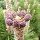 Image of <i>Pinus thunbergii</i> Parl.