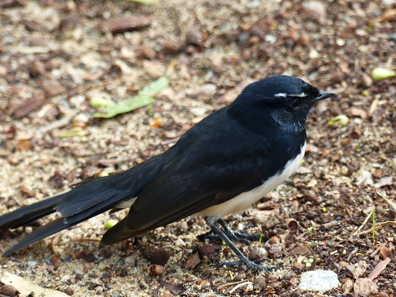 Image of Willie-wagtail
