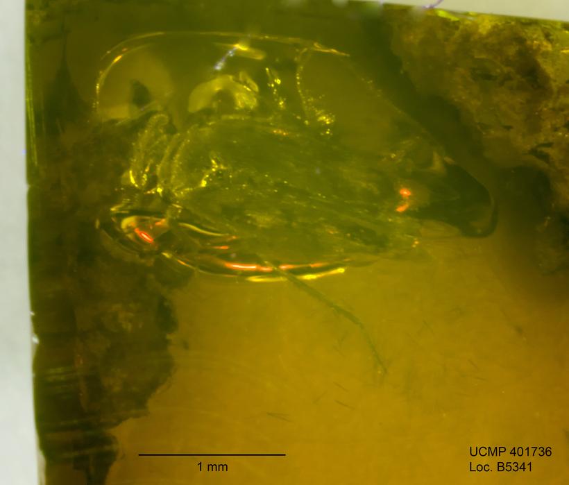Image of scaly-winged barklice