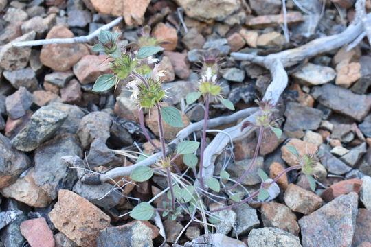 Image of Santa Clara thorn-mint