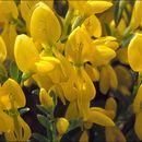 Image of <i>Genista januensis</i> Viv.