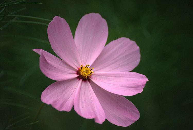 Image of garden cosmos