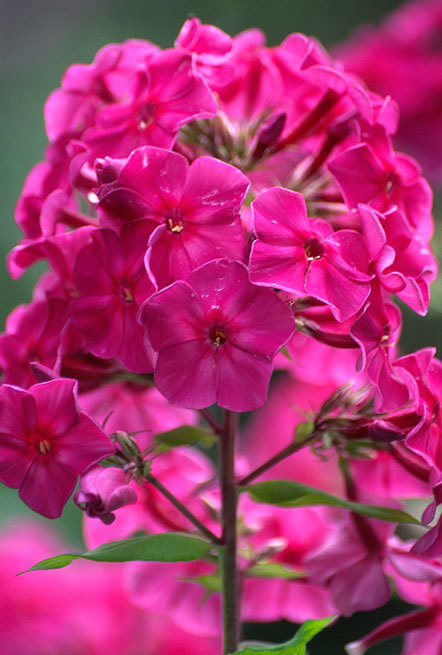 Image of fall phlox