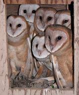 Image of Barn Owl