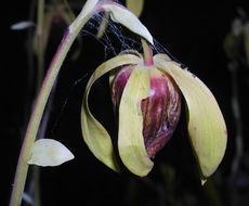 Image of California pitcherplant