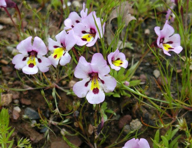 Image of purplelip pansy monkeyflower