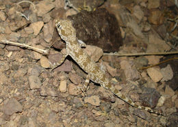 Image of Thick-tailed Tuberculated Gecko
