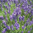 Image of English Lavendar