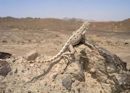 Image of Brilliant Ground Agama