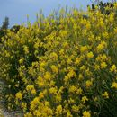 Image of Spanish broom