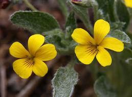 Image of feltleaf violet