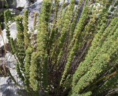 Image of <i>Micromeria juliana</i> (L.) Benth. ex Rchb.