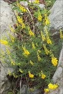 Image of <i>Lembotropis nigricans</i> (L.) Griseb.