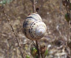 Image of <i>Cernuella virgata</i> (da Costa 1778)