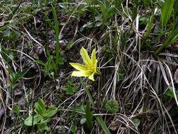 Image of <i>Tulipa heterophylla</i> (Regel) Baker
