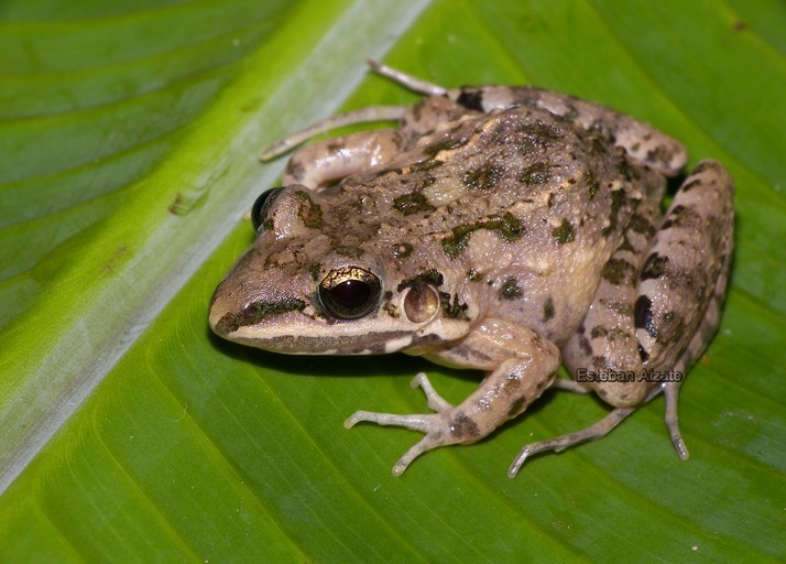 Image of American White Lipped Frog