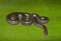 Image of Big-scaled Blind Snake