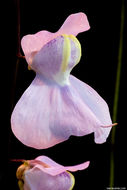 Image of <i>Utricularia humboldtii</i> Rob. Schomb.