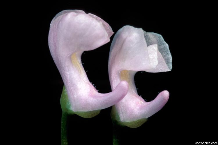 Image of lavender bladderwort